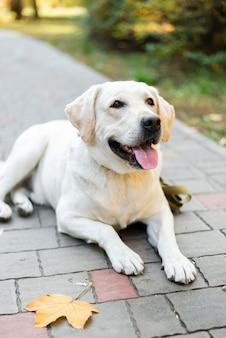 Labrador sveglio che sorride all'aperto