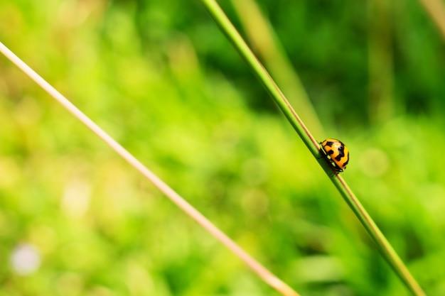 Lady bug sul gambo dell'erba
