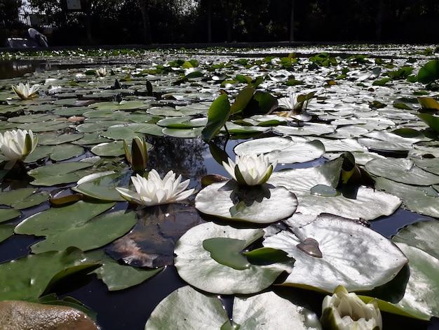 Lago coperto di ninfee in fiore e grandi foglie verdi.