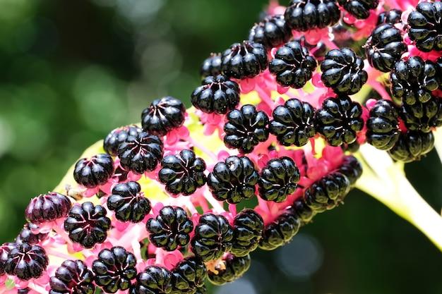 Lakonos o phytolacca, pokeberry