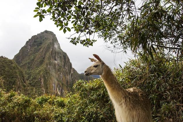 Lama a machu picchu in perù