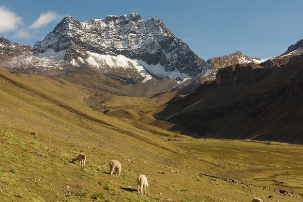 Lama che pascono in una valle nella catena delle ande. questa valle è uno dei percorsi per la vinicunca