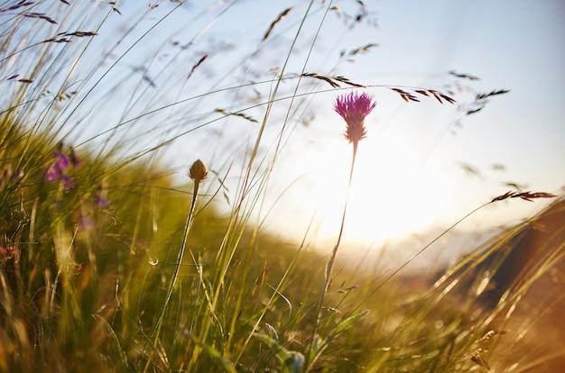 Lama d'erba che ondeggia nel vento nella macro tramonto
