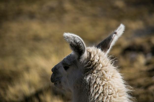 Lama di montagna nella cordillera real andes, bolivia
