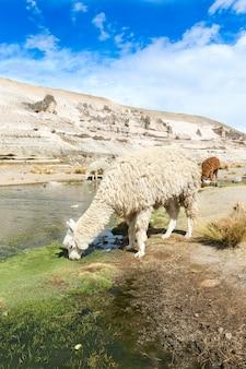 Lama nelle ande, montagne, perù