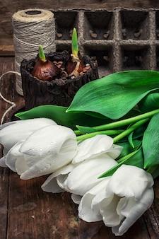 Lampadine germogliate sui tulipani freschi del taglio del fondo bianco