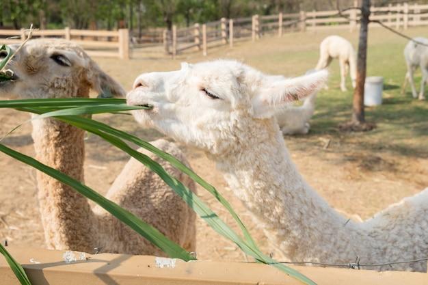Lana bianca di alpaca che mangia erba