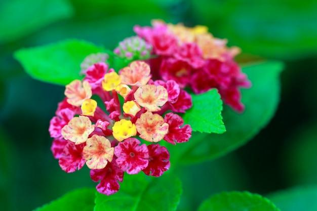 Lantana flowers camara