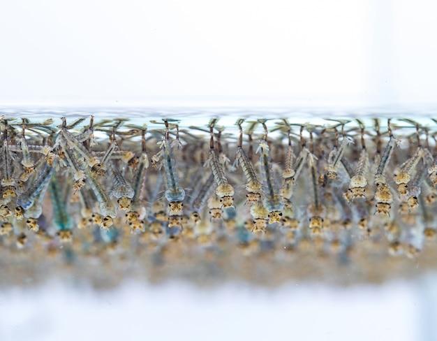 Larve di zanzara in acqua su sfondo bianco.