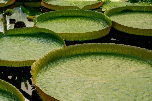 Lascia le piante acquatiche victoria.