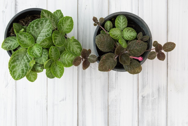 Lat piano della pianta verde del vaso da fiori viola della fiamma sulla tavola di legno bianca, vista superiore