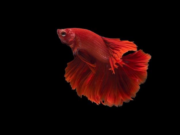 Lato del pesce combattente del siam rosso con backgrond nero con il percorso