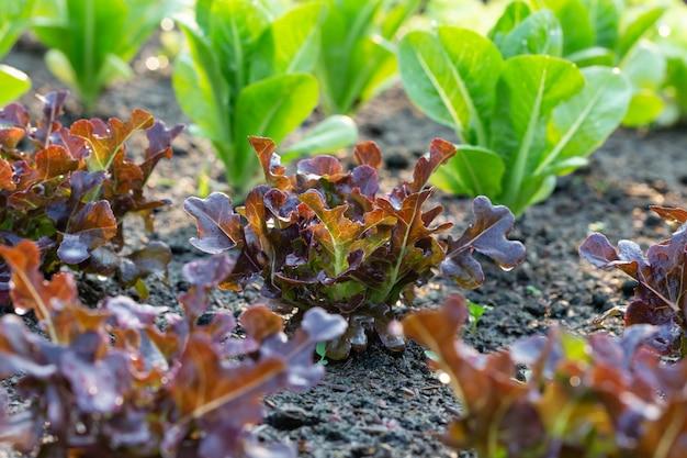 Lattuga di quercia rossa nella trama vegetale