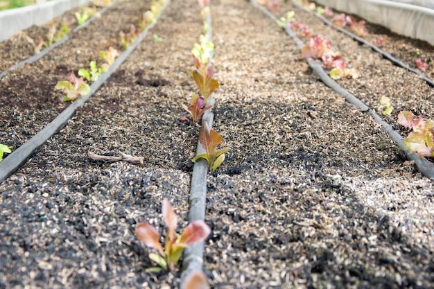 Lattuga fresca che cresce in un sistema idroponico in serra