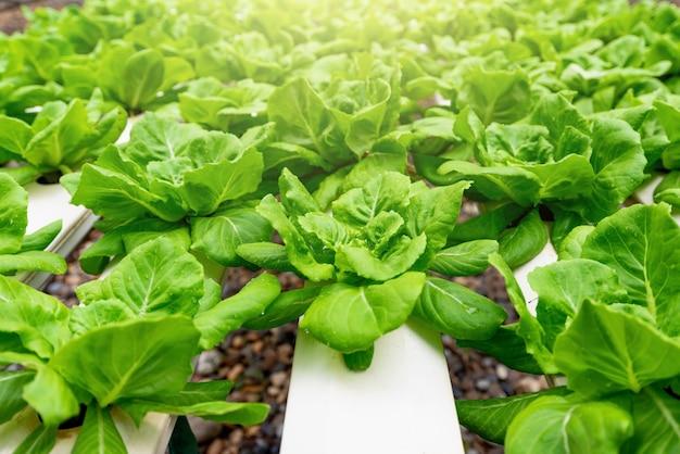 Lattuga vegetale biologica