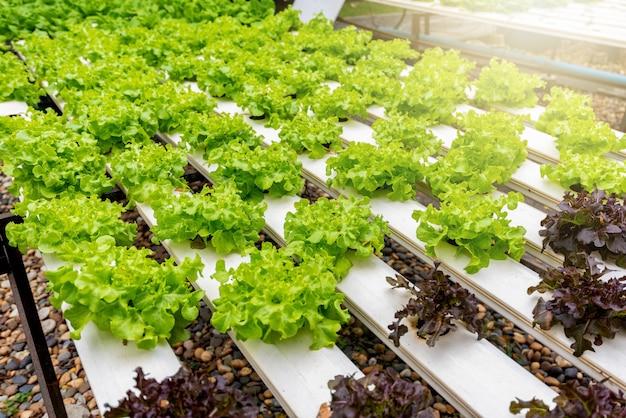 Lattuga verde biologica e pianta vegetale di quercia rossa