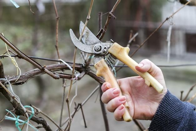Lavorare in giardino. donna che taglia la vite con le cesoie