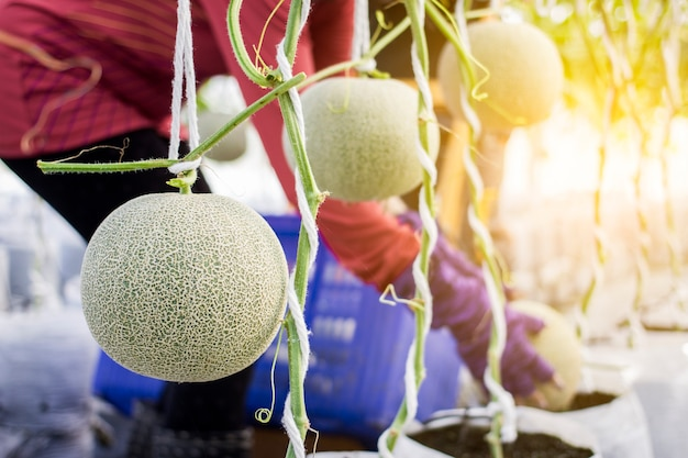 Lavoratore che raccoglie melone nell'azienda agricola del melone