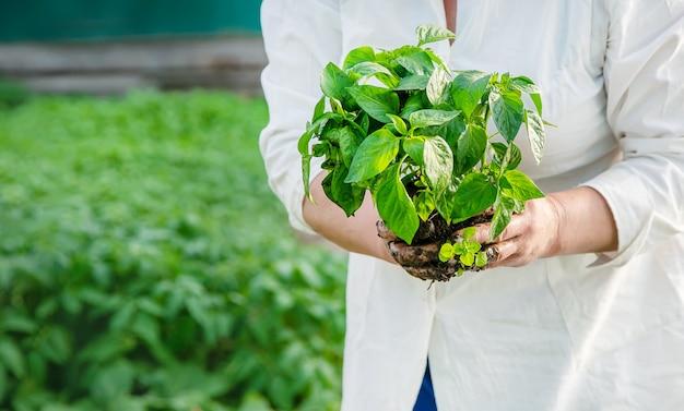 Lavoratore con piantine di peperone in primavera. messa a fuoco selettiva