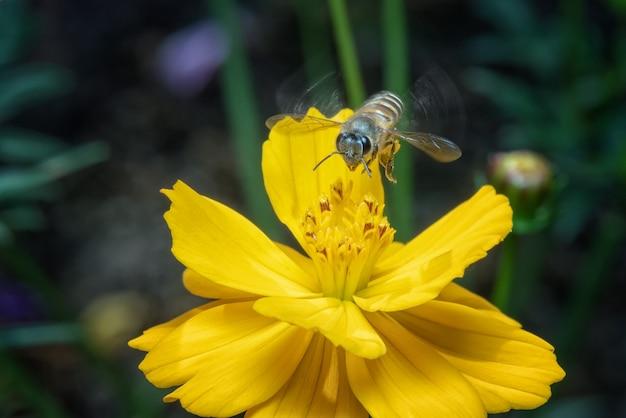 Lavoratore dell'ape che vola sui fiori gialli