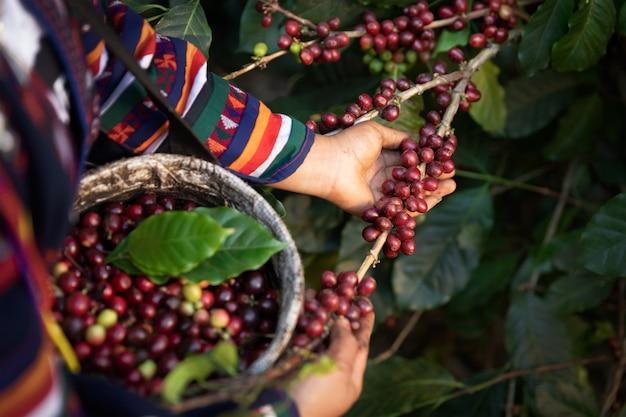 Lavoratore raccolga le bacche di caffè arabica sul suo ramo