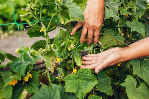 Lavoratrice agricola senior che controlla i cetrioli che crescono sull'azienda agricola