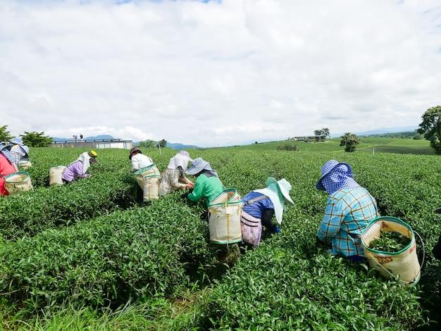 Lavoro che seleziona le foglie di tè verdi alla fattoria del tè
