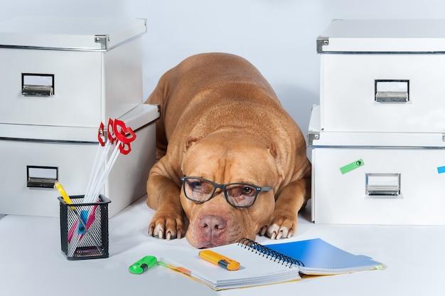 Lavoro. il cane è un pitbull con gli occhiali tra le cartelle e l'ufficio. il concetto di ambiente di lavoro. attività commerciale.