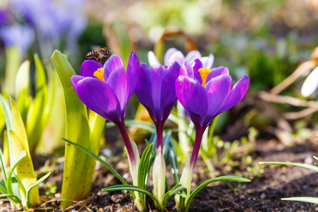 Le api da miele raccolgono il polline
