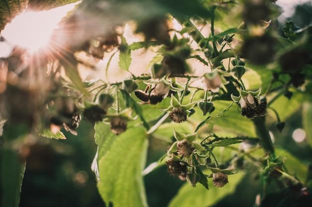 Le api impollinano i lamponi