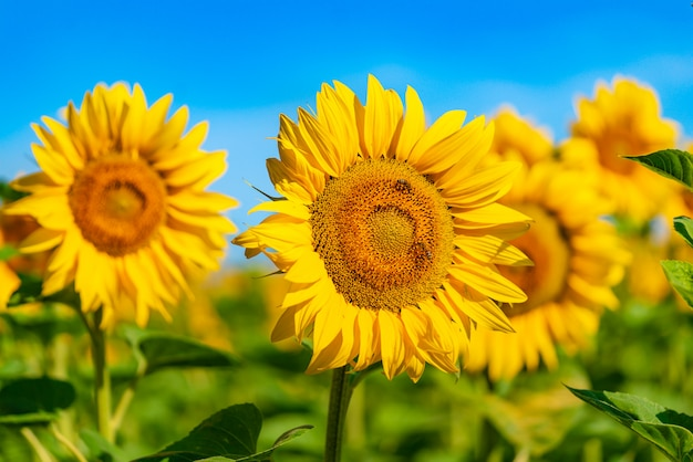 Le api impollinano un girasole nel campo di giorno in estate.