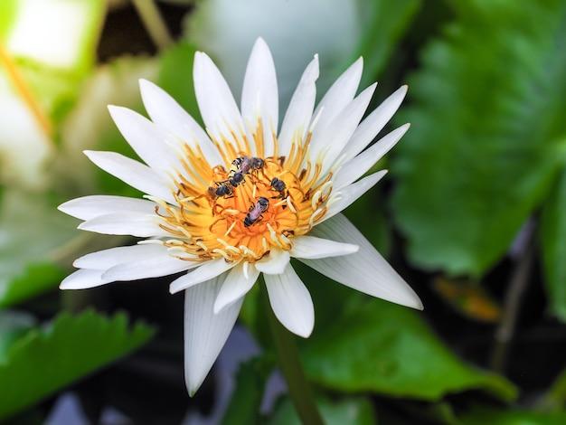Le api raccolgono il nettare sul polline di loto al mattino.