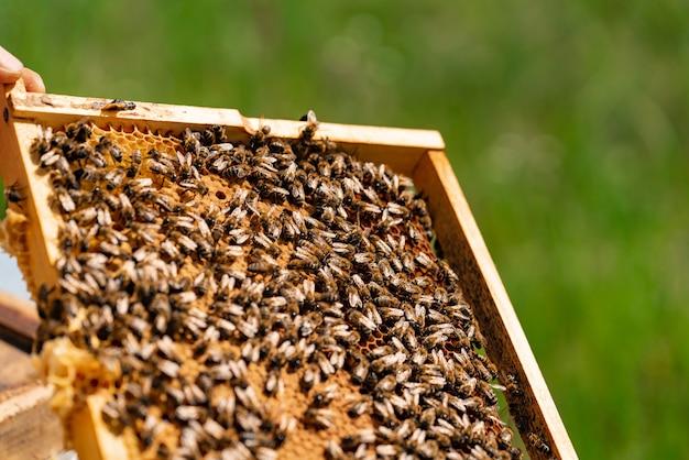 Le api riempiono la cornice di miele con nido d'ape in estate nel cortile. avvicinamento