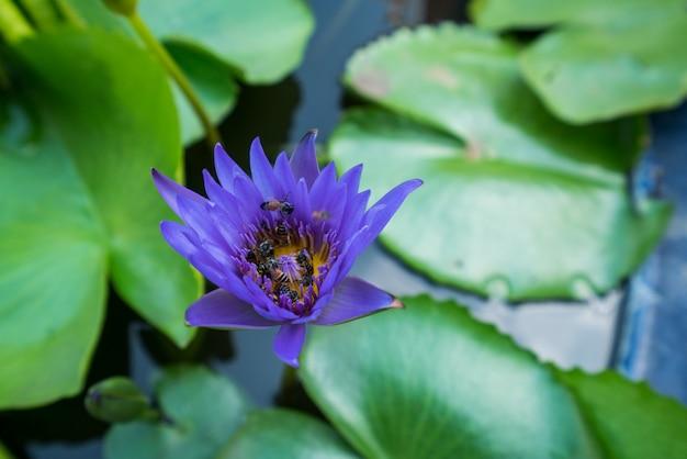 Le api stanno cercando di mantenere il polline di nettare dal fiore di giglio d'acqua di loto.