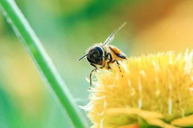 Le api sui fiori gialli in natura stanno fiorendo.