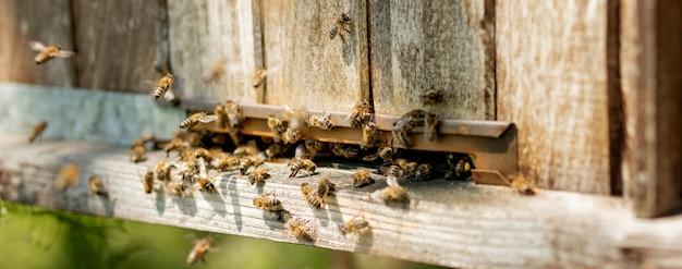 Le api tornano all'alveare e entrano nell'alveare con nettare floreale raccolto e polline di fiori. sciame di api che raccolgono il nettare dai fiori. miele di fattoria biologica sana.