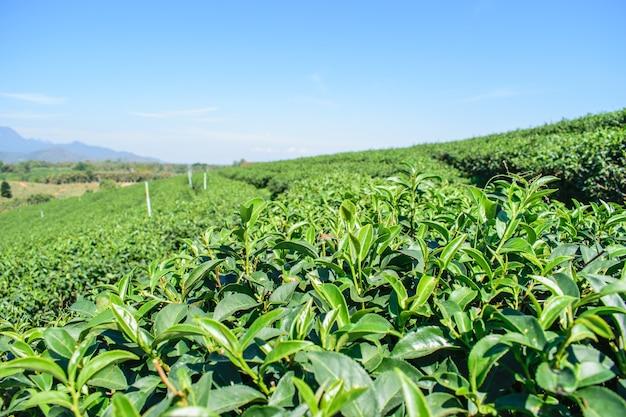 Le aziende agricole del tè verde organico sugli altipiani in campagna della tailandia