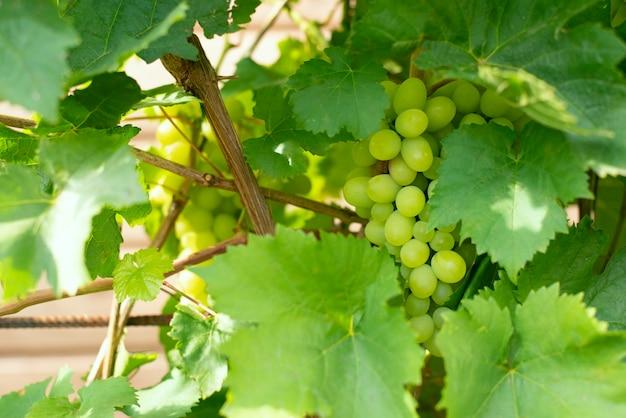 Le bacche dell'uva verde con le grandi foglie appendono sui rami dell'asta in un giardino