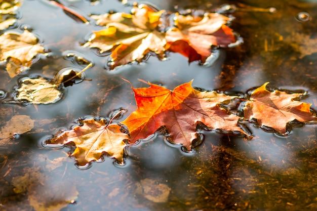 Le belle foglie autunnali cadevano nell'acqua nella pioggia autunnale