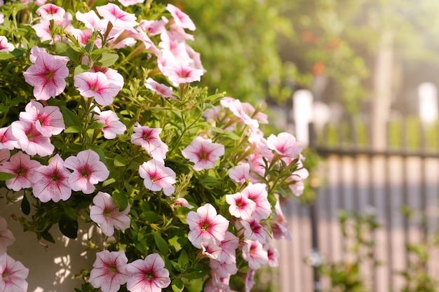 Le belle petunie colorate rosa fioriscono con luce solare nel giardino. onda di petunie.