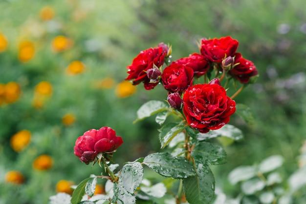 Le belle rose rosse dei fiori crescono nel giardino