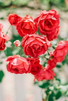 Le belle rose rosse del giardino si avvicinano al recinto bianco.