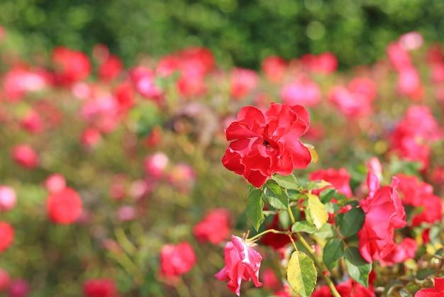 Le belle rose rosse fioriscono nel giardino.