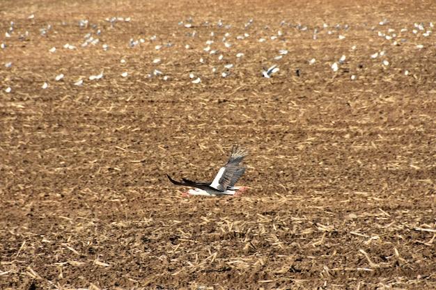 Le cicogne degli uccelli sorvolano il campo agricolo