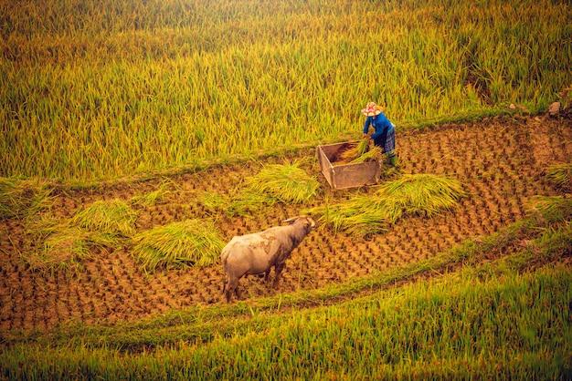 Le donne contadine stanno raccogliendo riso in un campo al tramonto a mu cang chai, vietnam nordoccidentale.
