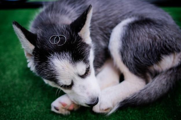 Le fedi nuziali dorate si trovano sulla testa di un cucciolo husky
