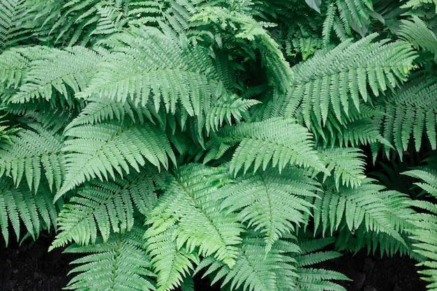 Le felci di beautyful lascia il fondo verde naturale della felce del fogliame verde al sole.