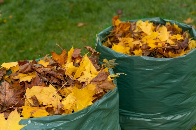 Le foglie di acero cadute in autunno vengono raccolte in un sacchetto biodegradabile e preparate per un ulteriore compostaggio. protezione dell'ambiente. concetto di rifiuti zero.