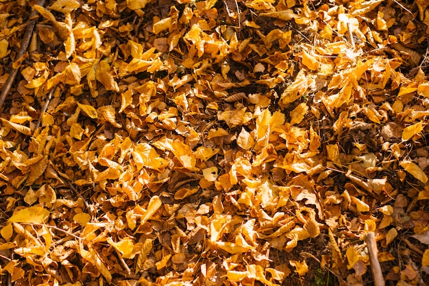 Le foglie di autunno cadute gialle si trovano sulla terra