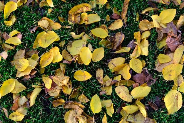 Le foglie di autunno gialle di struttura cadono sul fondo dell'erba verde